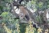 Leopard_Adult_Mara_2018_Asilia__0068