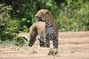 Leopard_Adult_Mara_2018_Asilia__0045