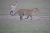 Leopard_Adult_Mara_2018_Asilia__0063