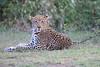 Leopard_Adult_Mara_2018_Asilia__0041