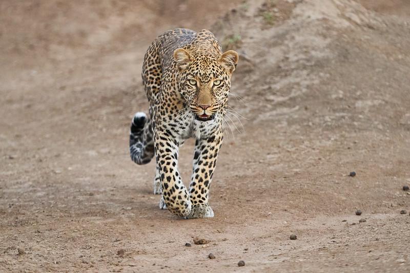Leopard_Adult_Mara_2018_Asilia__0088