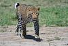 Leopard_Adult_Mara_2018_Asilia__0101