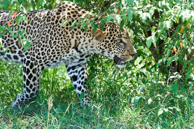 Leopard_Adult_Mara_2018_Asilia__0103