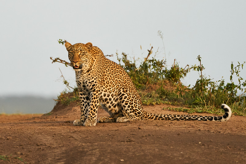Leopard_Adult_Mara_2018_Asilia__0081