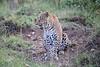 Leopard_Cubs_Mara_2018_Asilia__0053