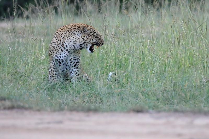Leopard_Adult_Mara_2018_Asilia__0034