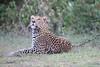 Leopard_Adult_Mara_2018_Asilia__0039