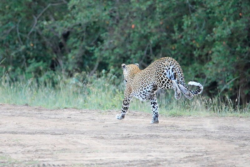 Leopard_Adult_Mara_2018_Asilia__0025