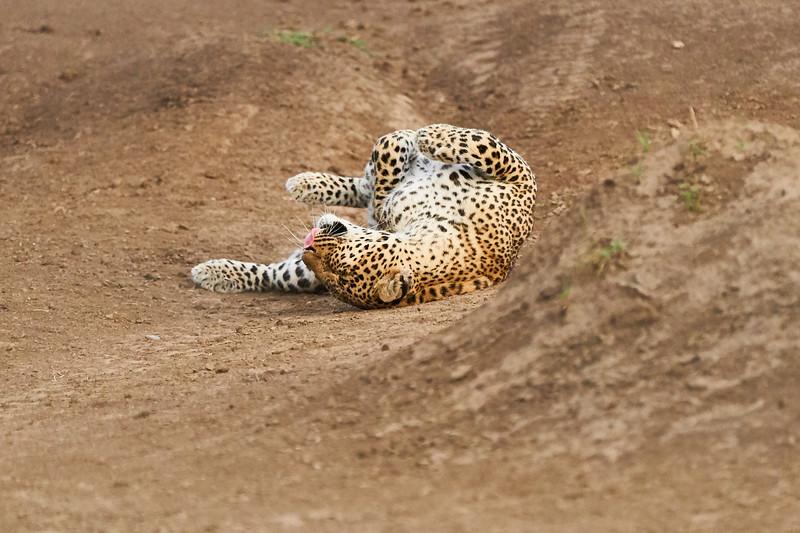 Leopard_Adult_Mara_2018_Asilia__0083