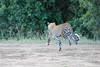 Leopard_Adult_Mara_2018_Asilia__0020