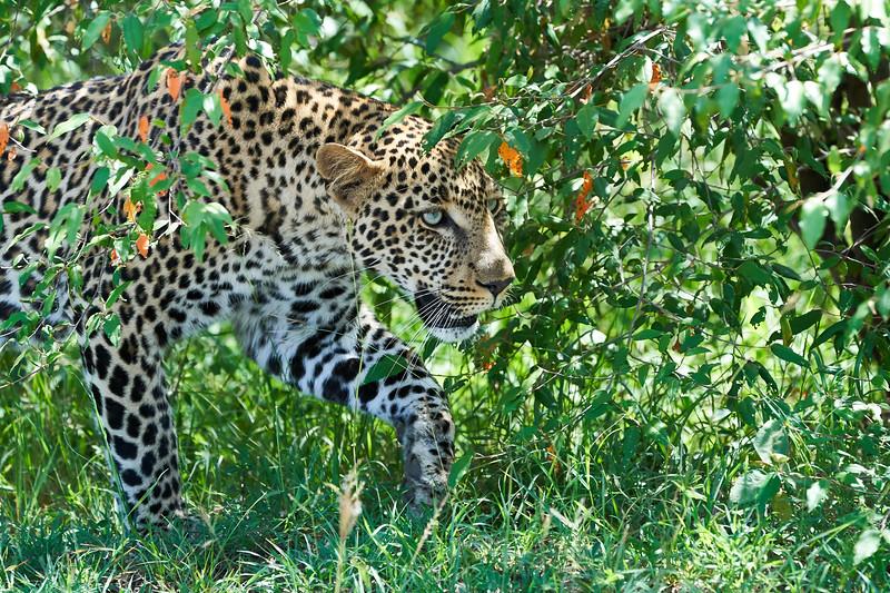 Leopard_Adult_Mara_2018_Asilia__0102
