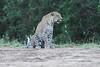 Leopard_Adult_Mara_2018_Asilia__0107