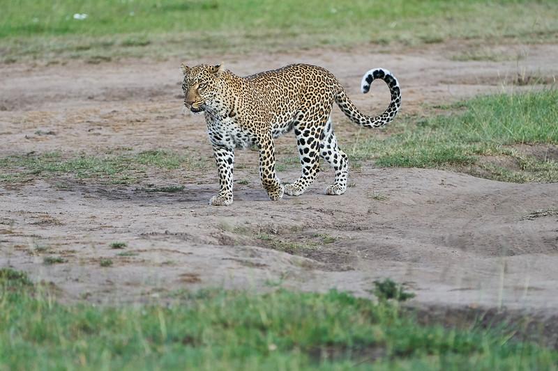 Leopard_Adult_Mara_2018_Asilia__0104
