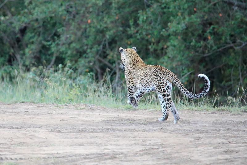 Leopard_Adult_Mara_2018_Asilia__0024