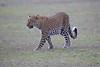 Leopard_Adult_Mara_2018_Asilia__0059