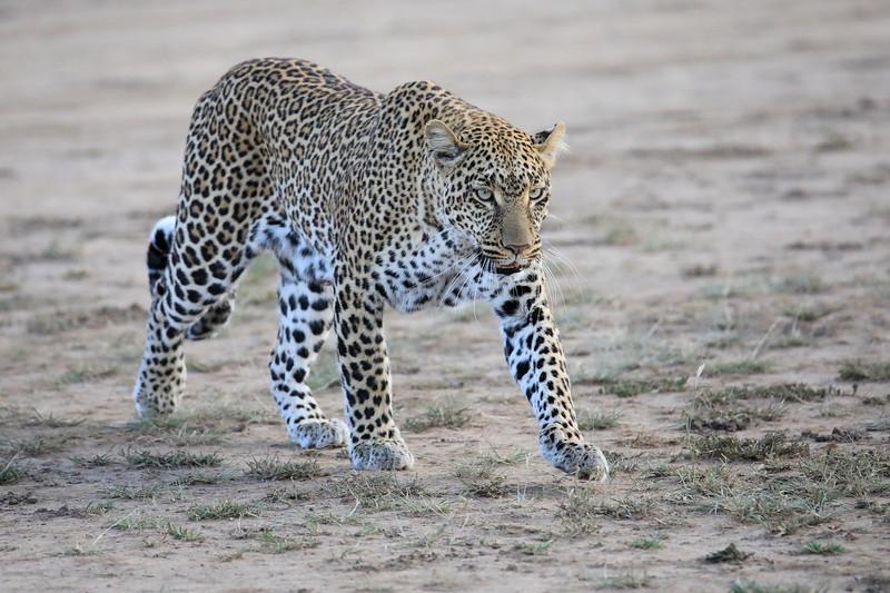 Leopard_Adult_Mara_2018_Asilia__0011