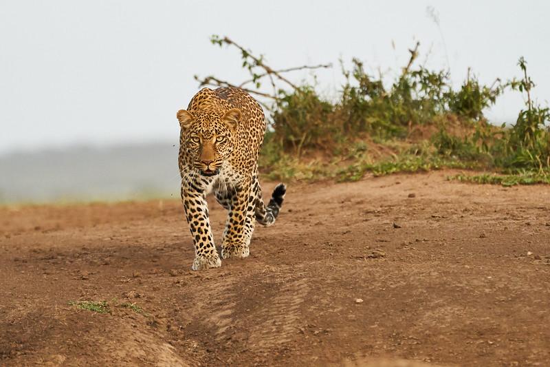 Leopard_Adult_Mara_2018_Asilia__0082