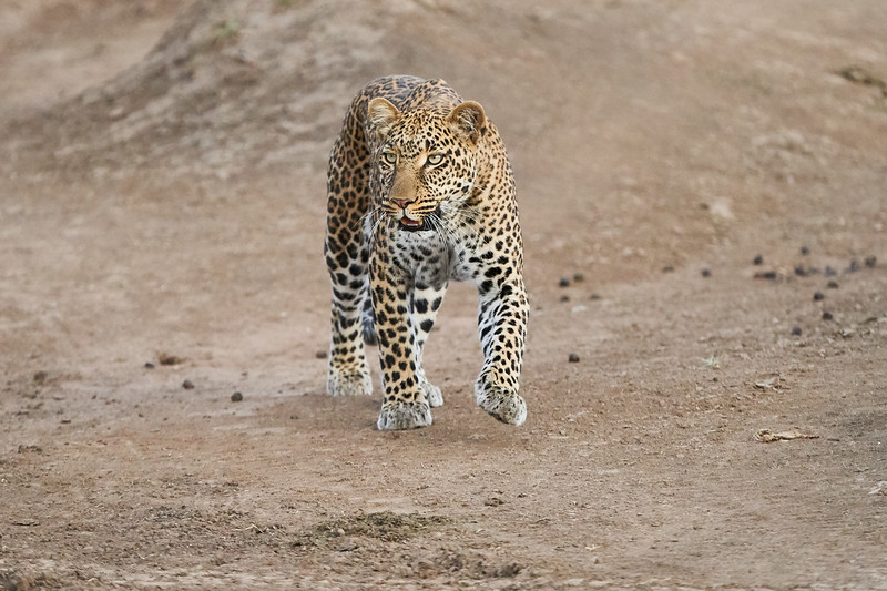 Leopard_Adult_Mara_2018_Asilia__0090