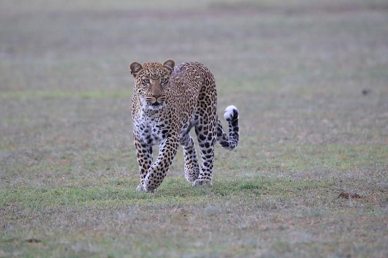 Leopard_Adult_Mara_2018_Asilia__0056
