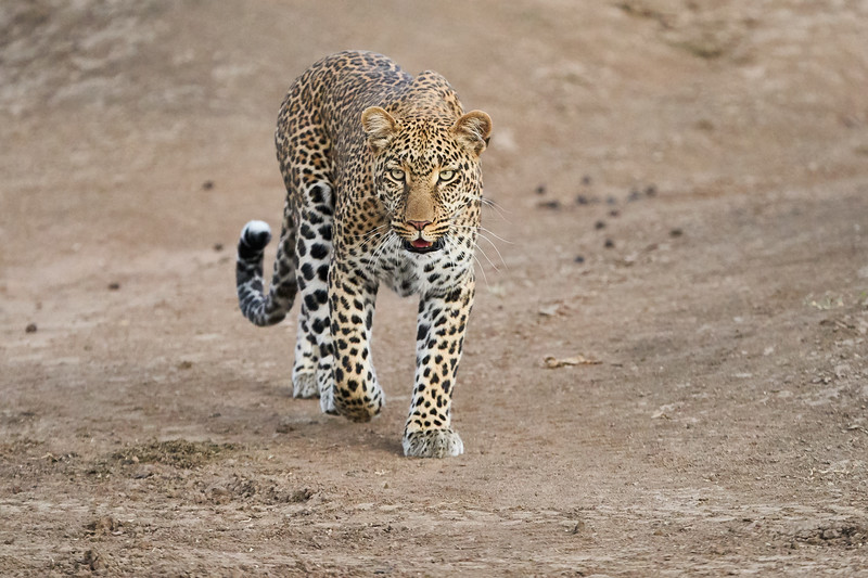 Leopard_Adult_Mara_2018_Asilia__0093