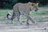 Leopard_Adult_Mara_2018_Asilia__0110