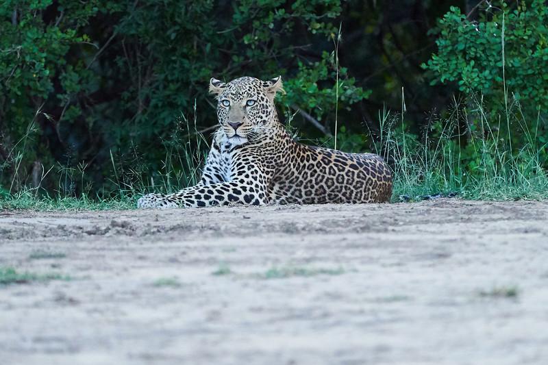 Leopard_Adult_Mara_2018_Asilia__0116