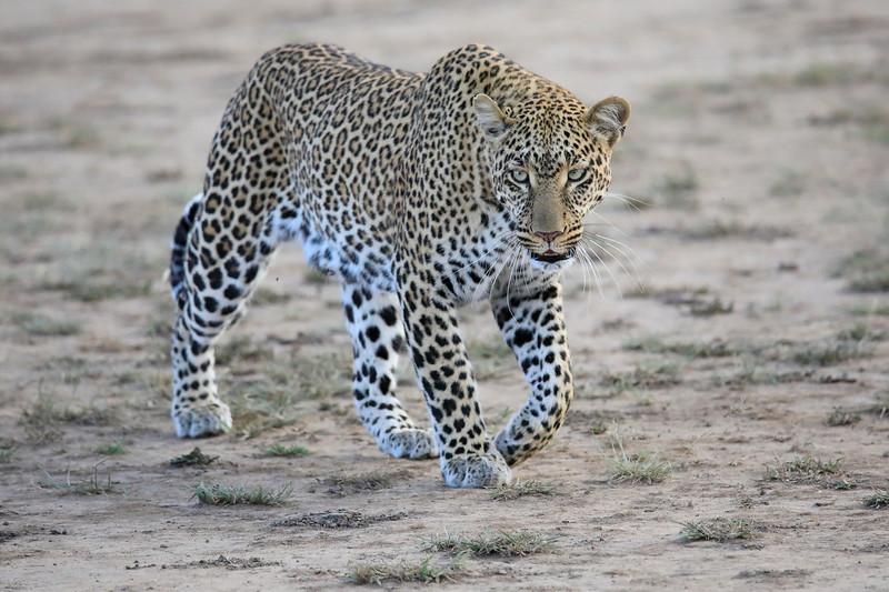 Leopard_Adult_Mara_2018_Asilia__0015