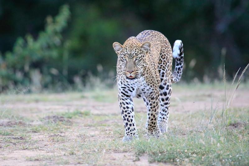 Leopard_Adult_Mara_2018_Asilia__0019