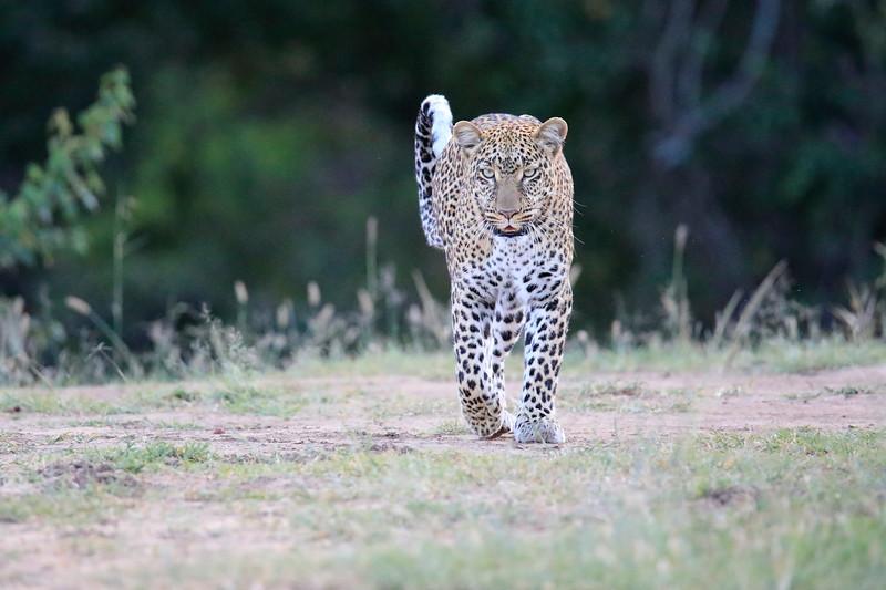 Leopard_Adult_Mara_2018_Asilia__0017