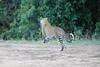 Leopard_Adult_Mara_2018_Asilia__0022