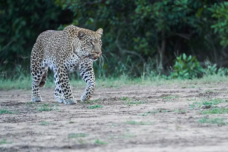 Leopard_Adult_Mara_2018_Asilia__0108