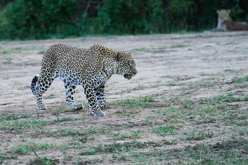 Leopard_Adult_Mara_2018_Asilia__0112