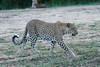 Leopard_Adult_Mara_2018_Asilia__0113