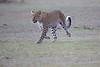 Leopard_Adult_Mara_2018_Asilia__0054