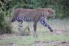 Leopard_Adult_Mara_2018_Asilia__0042