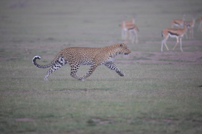 Leopard_Adult_Mara_2018_Asilia__0060