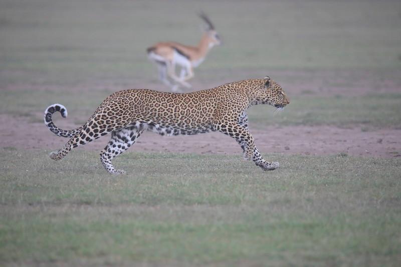Leopard_Adult_Mara_2018_Asilia__0062