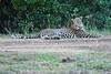 Leopard_Cubs_Mara_2018_Asilia__0261