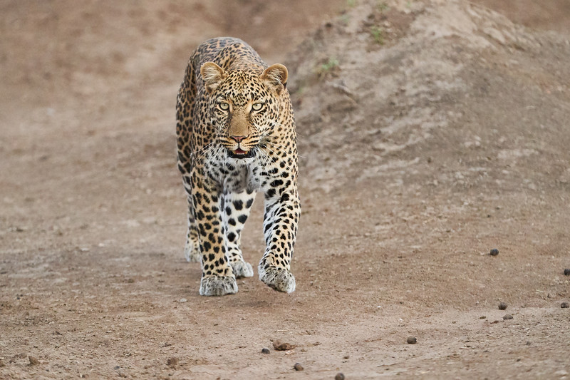Leopard_Adult_Mara_2018_Asilia__0087