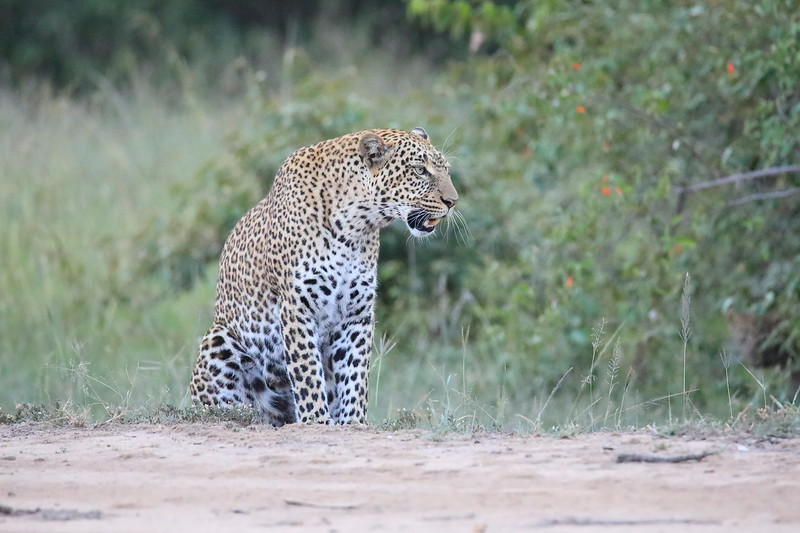 Leopard_Adult_Mara_2018_Asilia__0038