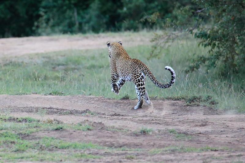 Leopard_Adult_Mara_2018_Asilia__0026