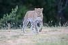 Leopard_Adult_Mara_2018_Asilia__0016