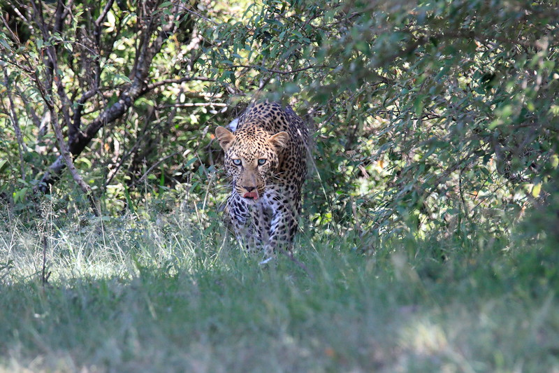 Leopard_Adult_Mara_2018_Asilia__0006