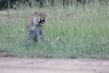 Leopard_Adult_Mara_2018_Asilia__0032