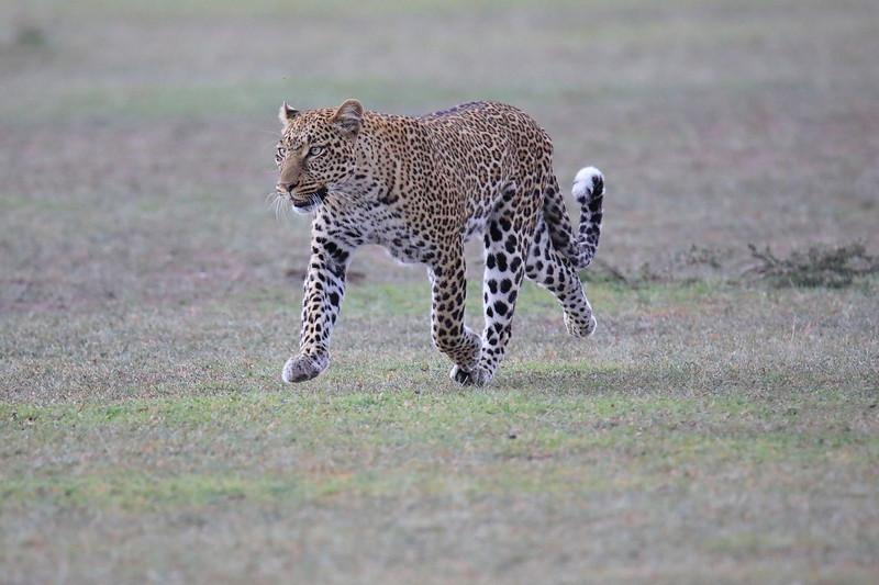 Leopard_Adult_Mara_2018_Asilia__0053