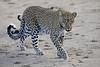 Leopard_Cubs_Mara_2018_Asilia__0094