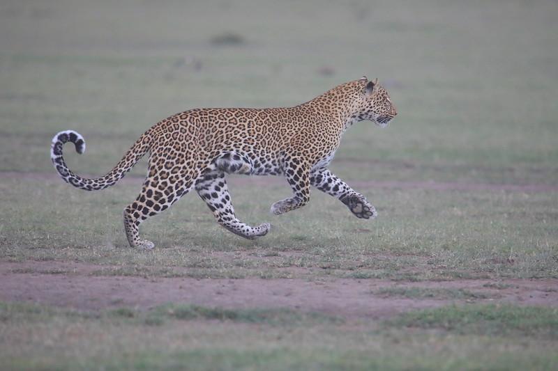 Leopard_Adult_Mara_2018_Asilia__0064
