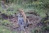 Leopard_Cubs_Mara_2018_Asilia__0054