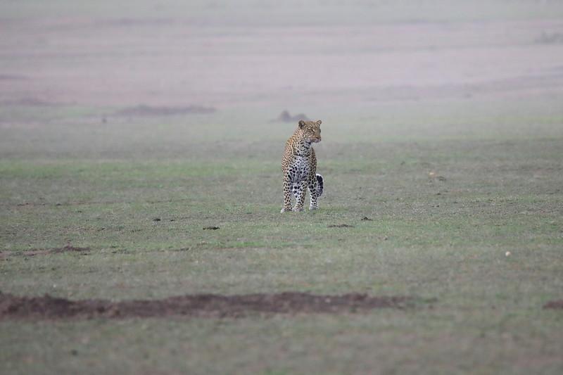Leopard_Adult_Mara_2018_Asilia__0048