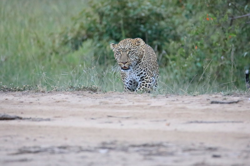 Leopard_Adult_Mara_2018_Asilia__0037